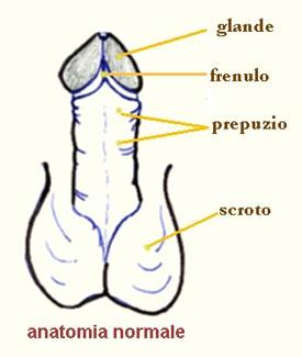 Anatomia di un pene