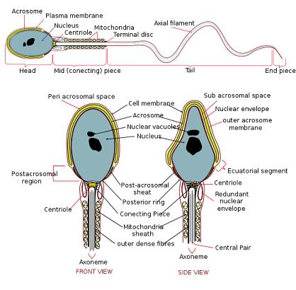 Illustrazione di spermatozoo umano in dettaglio
