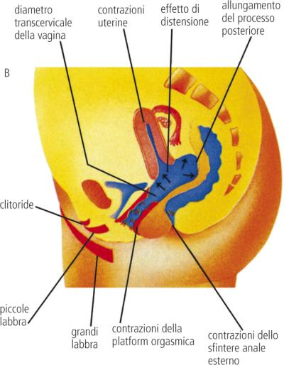 Anatomia della pelvi femminile normale