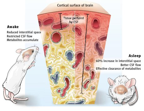 Confronto fra la circolazione interstiziale del fluido cerebrospinale