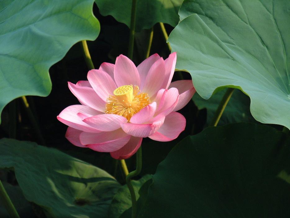Il Fiore di Loto -