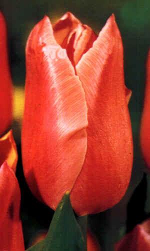 Il Tulipano -