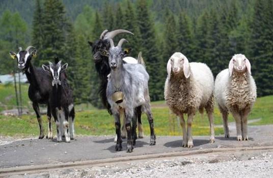 Ci sono pseudonimi giornalisti che parlano solo di pecore e caproni, che vergogna