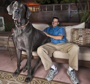'Gigante George', in Arizona il cane piu' alto del mondo -