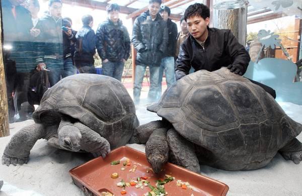 Due tartarughe giganti: una ha 83, l'altra 85 anni