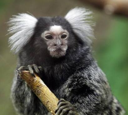 Una simpatica marmosetta -