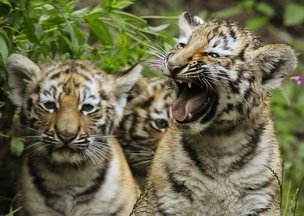 Tre piccole tigri nate a maggio giocano allo zoo di Zurigo -