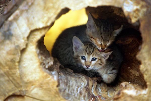 Germania, cuccioli di gatto arabo allo zoo di Wuppertal -