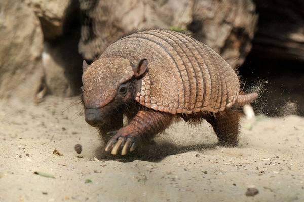 Allo zoo di Roma e' nato un cucciolo di armadillo villoso -