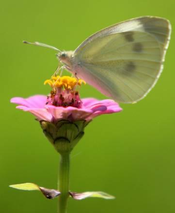 Flora e fauna in Bielorussia, una ''Gonepteryx Cleopatra'' -