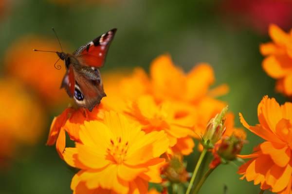 Farfalle a Minsk, un bell'esempleare di 'Occhio di Pavone' -