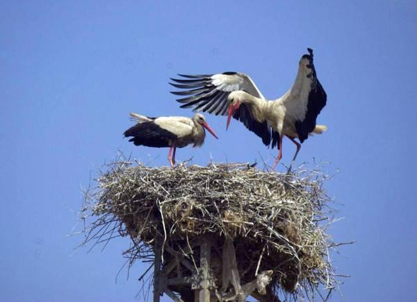 A Gela la piu' grande colonia di cicogne in Italia -