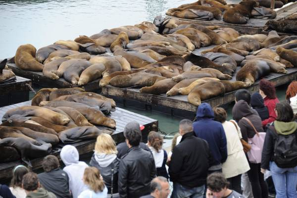 A San Francisco tornano i leoni marini -