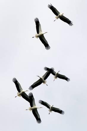 Cicogne bianche nei cieli di Etoy in Svizzera -