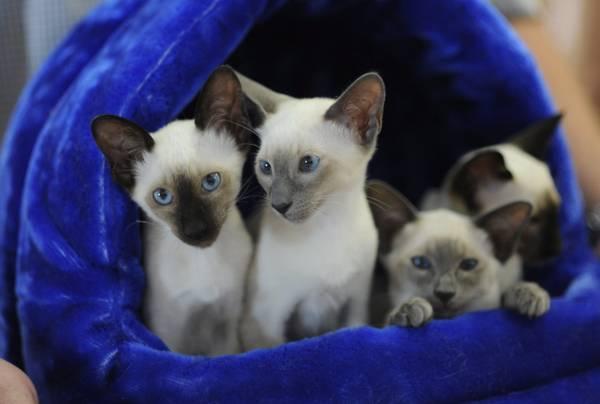 A Monaco cuccioli siamesi partecipano a una mostra felina -