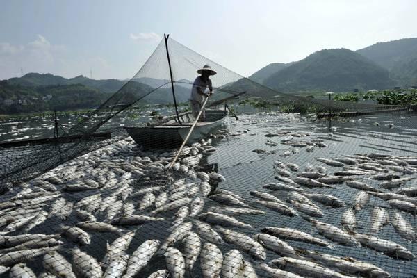Fujian, Cina: misteriosa moria di pesci -