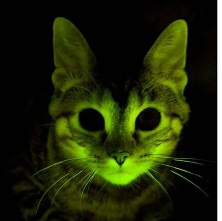 Ottenuti i primi gatti transgenici. Aiuteranno a studiare l'Aids e numerose altre malattie -