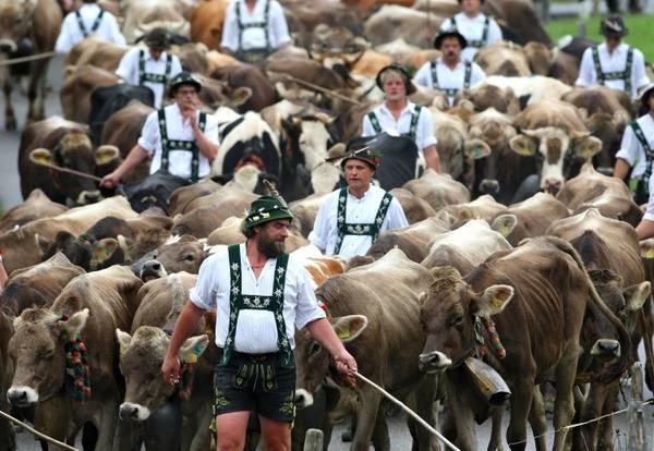 Germania, la transumanza a Oberstaufen -