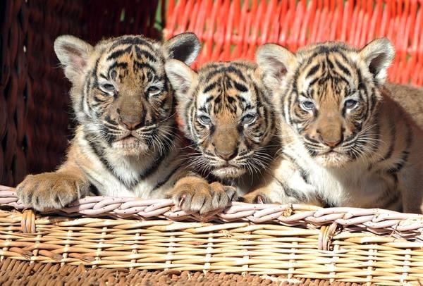 Allo zoo di Berlino, tre cuccioli di tigre indiana -