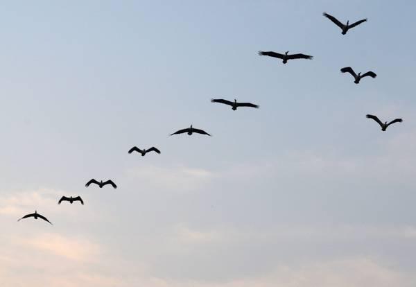 Pellicani a 'v', nei cieli indiani è tempo di migrare -