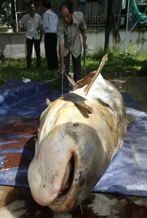 Cambogia: un pesce gatto morto nelle acque del Mekong