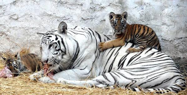 La tigre bianca Yamuna con i suoi cuccioli Luv e Kush