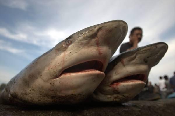 A Lampulo (Indonesia), squali appena pescati in bella mostra