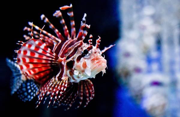 Harbin, acquario: un pesce-leone... con i colori degli States
