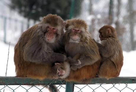 Storie di animali: la scimmia indiana e la tigre di Sumatra. La famigliola si protegge con il calore