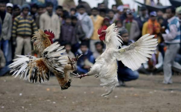 India: a Guwahati, molto seguiti i combattimenti tra galli