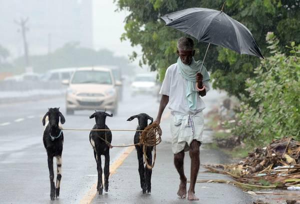 Un anziano indiano cammina con le sue capre sotto la pioggia battente in una strada di Nilan a Chenn