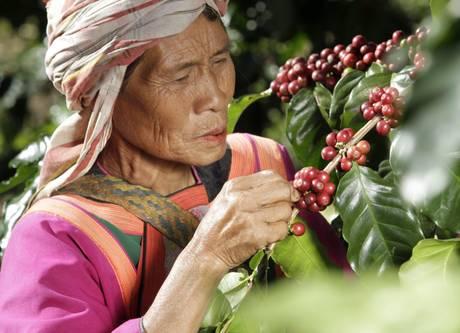 Una donna di Chiang Rai, in Thailandia raccoglie ciliegie di caffè per alimentare gli elefanti