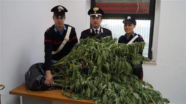 Droga, 19 piantine di marijuana sequestrate ad Agnone - IS