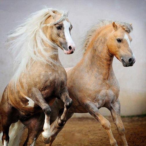 Cavallo. La pi� nobile conquista dell'uomo