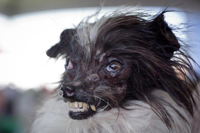 I cani più brutti al mondo, c'è anche un concorso